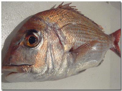 泉州地魚・真鯛