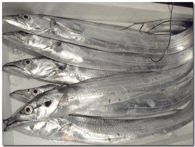 泉州地魚・タチウオ