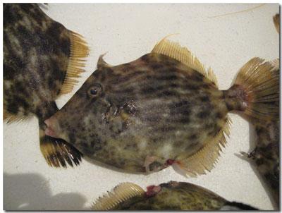 泉州地魚・カワハギ