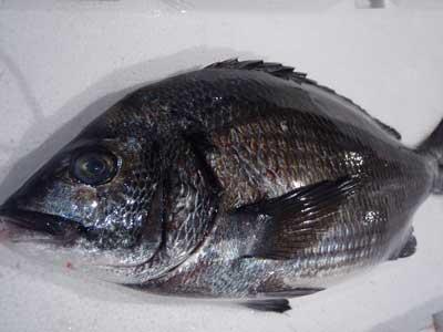 泉州地魚・黒鯛