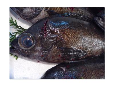 泉州地魚・黒めばる