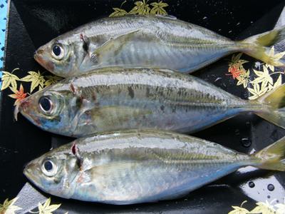 泉州地魚・手釣り泉アジ