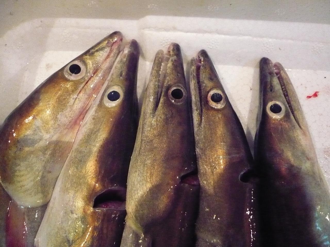 泉州地魚・鱧 500g2本(骨切りナシ)